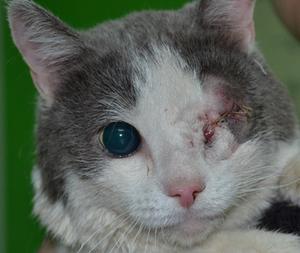 Кот после удаления глазного яблока